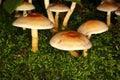 Het Bosje van de zwavel (Hypholoma fasciculare) Royalty-vrije Stock Afbeelding