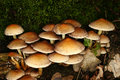 Het Bosje van de zwavel (Hypholoma fasciculare) Royalty-vrije Stock Fotografie