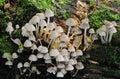 Het bosjepaddestoelen van de zwavel (Hypholoma fasciculare) Stock Foto's