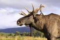 Het Europese hoofd van de elandenstier en schoudersprofiel Royalty-vrije Stock Afbeelding