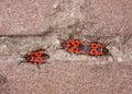 Het koppelen firebug op een muur (apterus Pyrrhocoris) Royalty-vrije Stock Afbeeldingen
