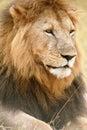 Het lazing van de leeuw in het gras Stock Afbeeldingen