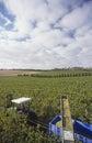 Het oogsten van het schiereiland victoria australia van mornington van wijndruiven Royalty-vrije Stock Foto's