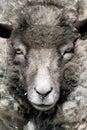 Het portret van schapen Royalty-vrije Stock Fotografie