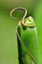 Het varenblad van de banaanpalm klaar aan unfurl Royalty-vrije Stock Afbeeldingen