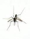 Het westen nile virus mosquito Stock Foto's
