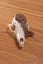 Heterodon nasicus, Western hog-nosed snake with fox skull on wooden background Royalty Free Stock Photo