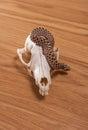 Heterodon nasicus, Western hog-nosed snake with fox skull on wooden background Royalty Free Stock Photo