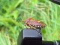 Heteropter bug sitting on screw Stock Photos