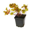 Heuchera Royalty Free Stock Photo