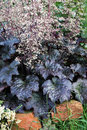 Heuchera autumn perennial plant on the garden bed is a herbaceous plants several alumroots and their crosses are used as Royalty Free Stock Images