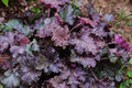 Heuchera `Stormy Seas` closeup in summer garden Royalty Free Stock Photo