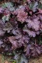 Heuchera `Stormy Seas` closeup in summer garden. Royalty Free Stock Photo