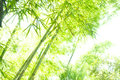 Hi key bamboo image of a forest with the curving through the image giving it an asian art effect Stock Photography