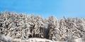 Hi res wintry panorama x ratio winter pine trees Stock Photos