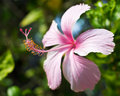 Hibiscus Stock Photography
