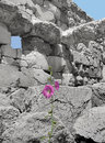 Hibiscus amidst ruins selectively colored flower among the of baalbeck in lebanon Royalty Free Stock Images