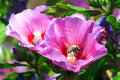 Hibiscus bee a busy covered in pollen on a flower syriacus Stock Photo