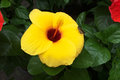 Hibiscus:The Big Beautiful Yellow Flower with butterfly. Royalty Free Stock Photo