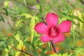 Hibiscus bright red flower on a green background Stock Image