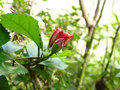 Hibiscus bud flower red plant flower small green plant buddy early morning with farm fresh Stock Images
