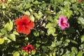 Hibiscus Clash Royalty Free Stock Photo