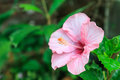 Hibiscus flower beautiful pink blooming Royalty Free Stock Photo