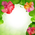 Hibiscus flower border background Stock Photo