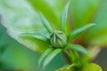 Hibiscus flower bud. Royalty Free Stock Photo