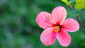 Hibiscus flower closeup of pink Stock Photos