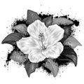 Hibiscus Flower Drawing On White Background Royalty Free Stock Photography