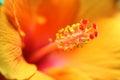 Hibiscus flower extreme macro Royalty Free Stock Photo