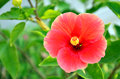 Hibiscus flower is a genus of flowering plants in the mallow family malvaceae it is quite large containing several hundred species Royalty Free Stock Photography