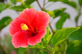 Hibiscus flower is a genus of flowering plants in the mallow family malvaceae it is quite large containing several hundred species Stock Images