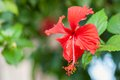 Hibiscus flower on leaf background Royalty Free Stock Photography