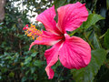 Hibiscus flower in lodge garden thakurdwara bardia nepal Stock Photography