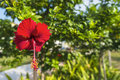 Hibiscus flower nice with blurred bokeh background Stock Photography