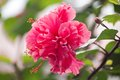 Hibiscus flower pink hibiscus flower blooming on blurred nature background Stock Images