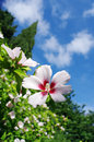 Hibiscus flower pink and white in garden Royalty Free Stock Photography
