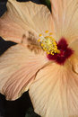 Hibiscus - flower and pistils Royalty Free Stock Photography