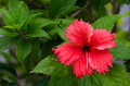 Hibiscus flower red in aitutaki lagoon cook islands Stock Photos