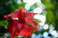 Hibiscus flower red close up Royalty Free Stock Images