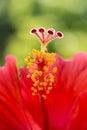 Hibiscus flower red macro stamen pistil single center tropical Stock Photo