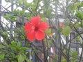 The hibiscus flower    san diego ca