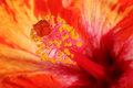 Hibiscus flower stamen closeup of a with yellow pollen and red and orange petal background Royalty Free Stock Photography
