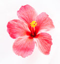 Hibiscus flower on white background Royalty Free Stock Photo