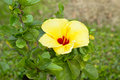 Hibiscus flower yello or chinese rose spices in thailand Royalty Free Stock Photos