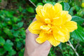 Hibiscus on hand , Yellow flower in forest Royalty Free Stock Photo