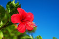 Hibiscus hibiscus sp this image was taken in okinawa prefecture japan Royalty Free Stock Photos