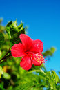Hibiscus hibiscus sp this image was taken in okinawa prefecture japan Stock Photo